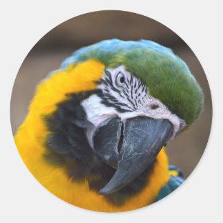 cabeza azul del macaw del loro del oro inclinada pegatina redonda