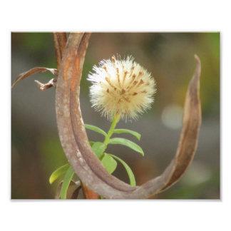 Cabeza blanca de la semilla del aster de Panicle Arte Fotográfico