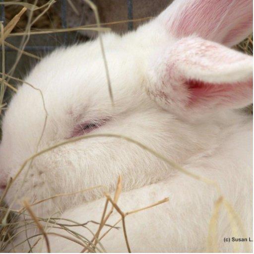 Cabeza blanca del conejo del enano del netherland  imán fotoescultura