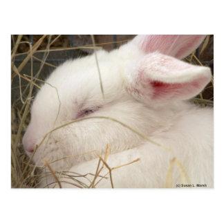 Cabeza blanca del conejo del enano del netherland postal