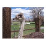 Cabeza de la avestruz tarjeta postal