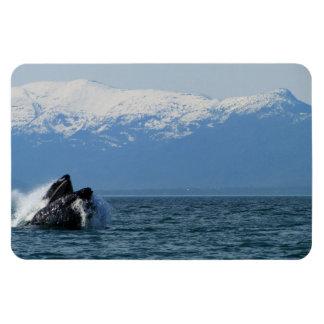 Cabeza de la ballena jorobada imanes
