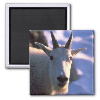 Cabeza de la cabra de montaña rocosa imán cuadrado