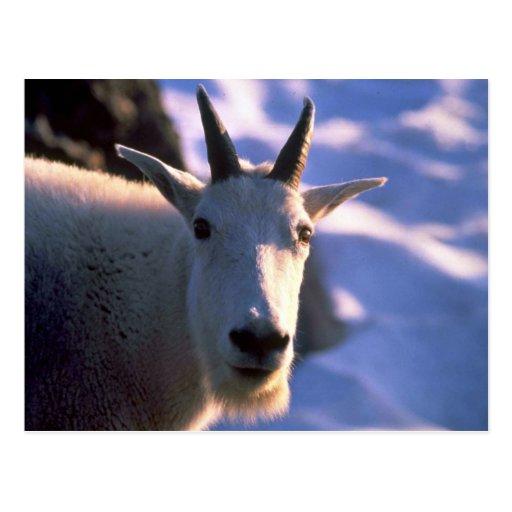Cabeza de la cabra de montaña rocosa postal