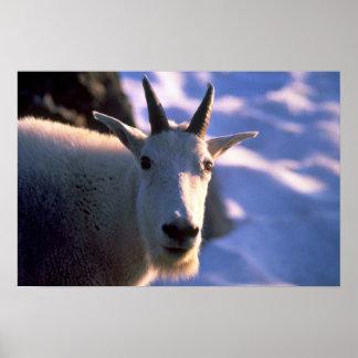 Cabeza de la cabra de montaña rocosa póster