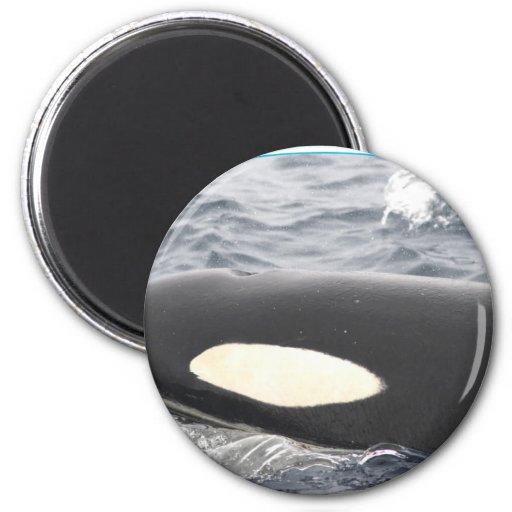 Cabeza de la orca de la orca - óvalo imán redondo 5 cm