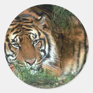 Cabeza de reclinación del tigre en la pata delante etiquetas