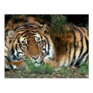 Cabeza de reclinación del tigre en la pata delante tarjeta postal