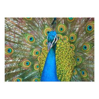 Cabeza del azul de pavo real con y plumas de cola