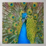 Cabeza del azul de pavo real con y plumas de cola  posters