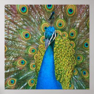 Cabeza del azul de pavo real con y plumas de cola póster