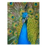 Cabeza del azul de pavo real con y plumas de cola  postales