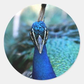 Cabeza del azul de pavo real en imagen pegatinas redondas