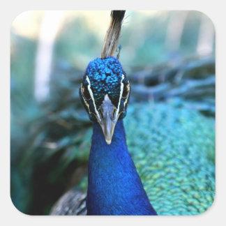 Cabeza del azul de pavo real en imagen calcomanias cuadradas