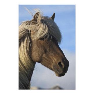 Cabeza del caballo islandés, Islandia Cojinete
