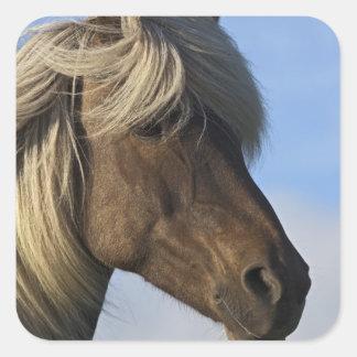Cabeza del caballo islandés, Islandia Pegatina Cuadrada