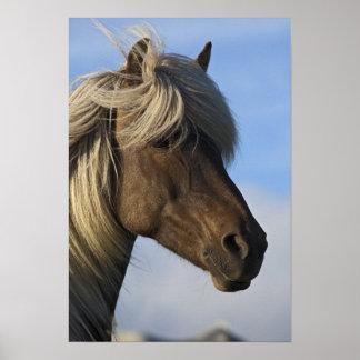 Cabeza del caballo islandés, Islandia Póster