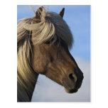 Cabeza del caballo islandés, Islandia Tarjeta Postal