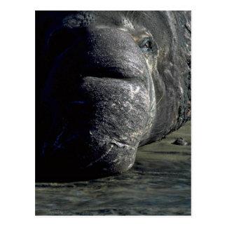 Cabeza del sello de elefante, frontal tarjeta postal