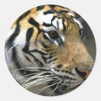 Cabeza del tigre derecho pegatina redonda