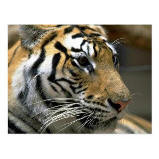 Cabeza del tigre, derecho postal