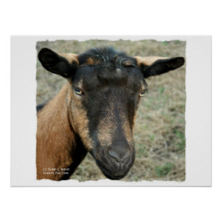 Cabeza marrón de la cabra de Oberhasli tirada en c Póster