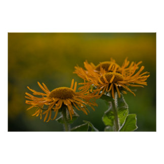 Cabezas de flor anaranjadas Inula Orientalis Póster