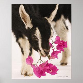 Cabra alpina británica domesticada (niño). Negro Poster