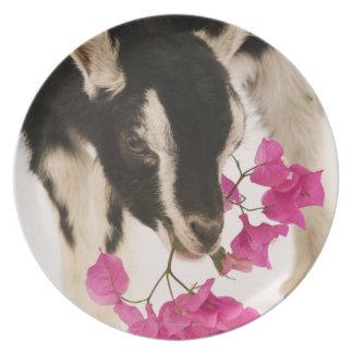 Cabra alpina británica domesticada (niño). Negro Platos