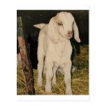 Cabra blanca 213 del bebé postales