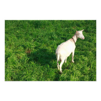 Cabra blanca cojinete