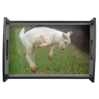 Cabra blanca del bebé divertido de la cabra que bandeja