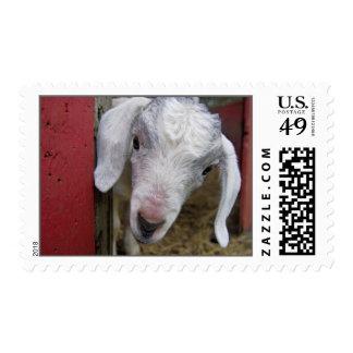 Cabra blanca del bebé en granero rojo estampilla