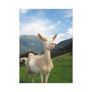 Cabra blanca lona estirada galerias