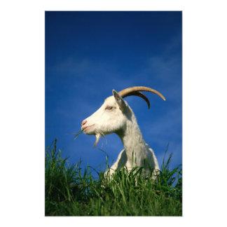 Cabra blanca que pasta fotografías