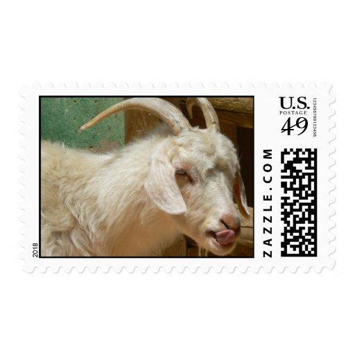 Cabra blanca que se lame sello