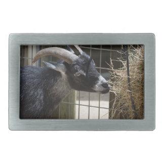 cabra blanco y negro con los cuernos que comen el hebillas cinturon rectangulares