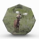 Cabra de Brown