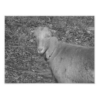 Cabra de la escala gris fotografías