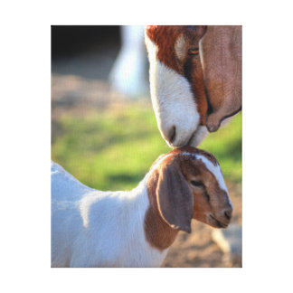 Cabra de la madre que besa a su bebé en la cabeza impresión en lienzo