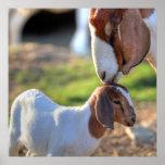Cabra de la madre que besa a su bebé en la cabeza impresiones