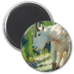 Cabra de montaña blanca iman de nevera
