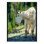 Cabra de montaña blanca tarjetas postales