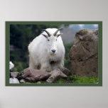 Cabra de montaña de la cascada poster