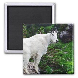 Cabra de montaña en el borde imán cuadrado