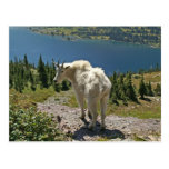 Cabra de montaña en la postal del Parque Nacional