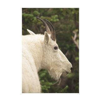 Cabra de montaña en Parque Nacional Glacier Impresiones En Lona Estiradas