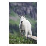 Cabra de montaña, Oreamnos americanus, adulto con Impresiones Fotograficas