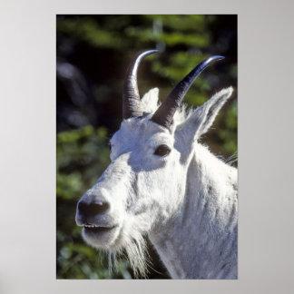 Cabra de montaña, Oreamnos americanus, en glaciar Poster