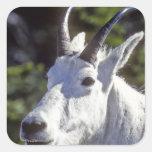 Cabra de montaña, Oreamnos americanus, en glaciar Pegatinas